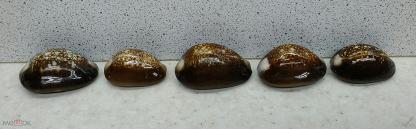 Капутсерпентус 2,5*2,9 - морские ракушки раковины