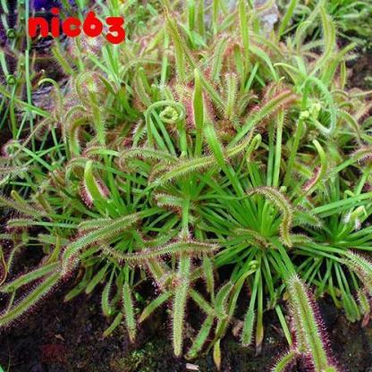 Семена Росянка Капская Drosera хищное растение хищник 30 штук
