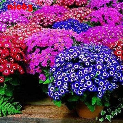 СЕМЕНА ЦИНЕРАРИЯ для дома и сада смесь 100 штук различных цветов